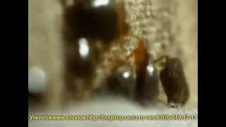 уничтожение клопов,тараканов,блох и прочих насекомых(Все подробности по уничтожению насекомых, препаратах и пр. Вы можете узнать на сайте http://dezmoscow.ru/ или позвон..., 2013-05-06T16:46:40.000Z)