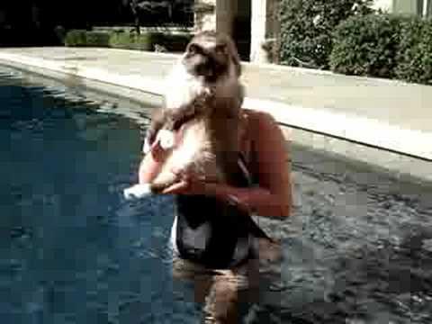 Ragdoll cats swimming