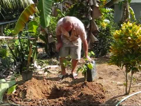 How To Plant A Banana DIY Tutorial An Expat Philippine Lifestyles Video