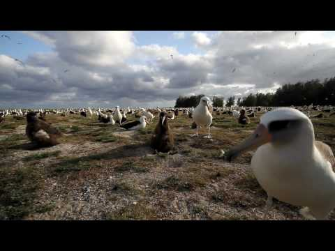 """Laysan Albatross on """"Parade Grounds"""" at Midway Atoll National Wildlife Refuge"""