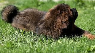 "Питомник тибетских мастифов ""Mastif Way"""