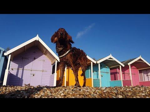 Cooper the Irish Setter - 2 Weeks Residential Dog Training