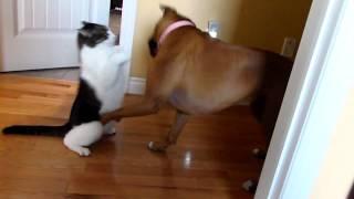 Boxer versus Ninja Cat