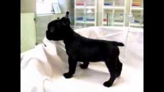 犬種:フレンチブルドッグ/URL:http://nipponpet.co.jp/カラー:ブリ...