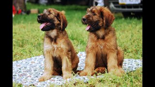 #51 BRIARD 1/2   | Which Dog Should I Get? Dog Breed Selector