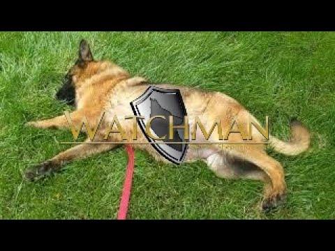 8 Weeks Pregnant German Shepherd Dog Prada Youtube