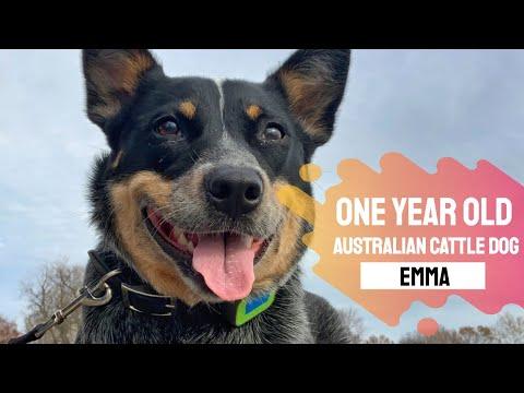 1yr Australian Cattle Dog (Emma) l Best Delaware Dog Trainers