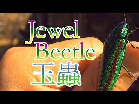 タマムシが飛ぶ瞬間2 <薪棚にはタマムシ jewel beetle >