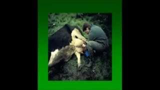 L'Examen du bovin malade en 6 gestes