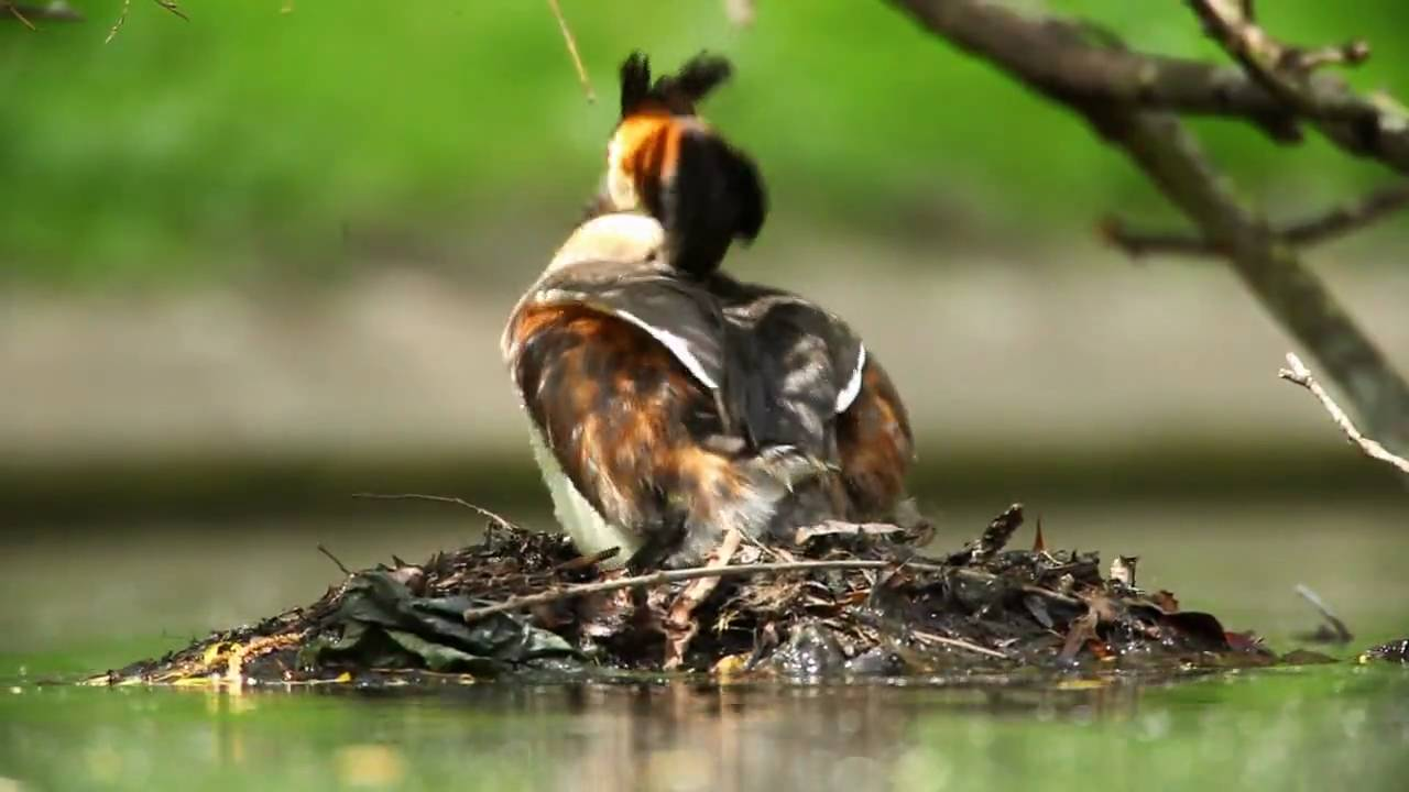 great crested grebes with babies - wildlife ( hd quality ) - youtube