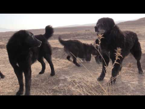 видео: Аборигенные САО, чёрная стая саги дахмарда из Пенджикента