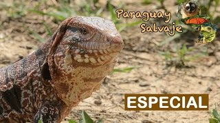 Paraguay Salvaje Especial El teju guasu pyta