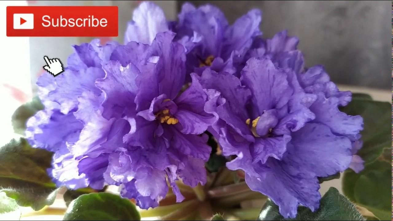 фиалка тирский пурпур фото лука чеснока