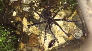 アオグロハシリグモの飼育