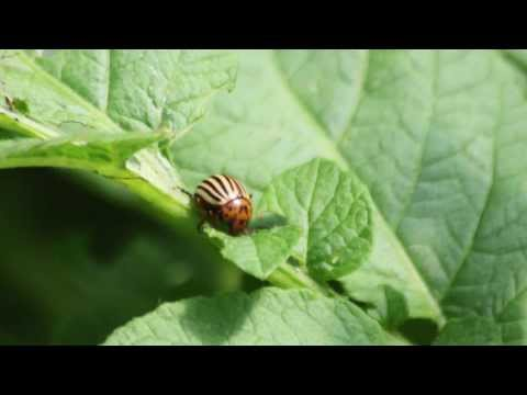 Everything you need to know about the Colorado Potato Beetle