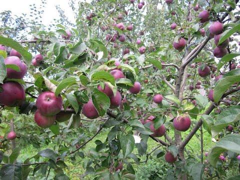 Лучшие сорта яблонь. Продается дом с превосходным садом в 200 км от Москвы.