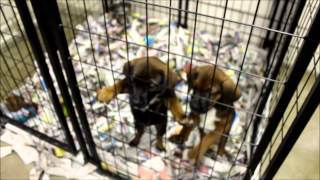 Retriever/mountain Cur/boxer Mix Puppies,  Millie's Puppies, Litter Of 8