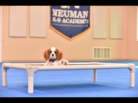 Lucy (Cavalier KC Spaniel) Puppy Camp Dog Training Video Demonstration