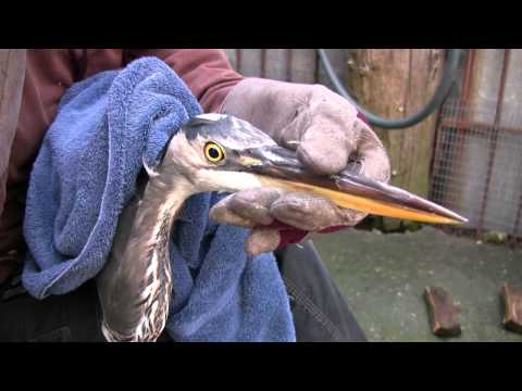 True Facts About Great Blue Herons