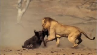 The documentary Lion -  Living With Lions -   Wild Animals Life Documentary