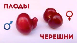 ИНТЕРЕСНЫЕ ПЛОДЫ ЧЕРЕШНИ  Забавные плоды черешни в довольно откровенных формах  Две черешни мутанты