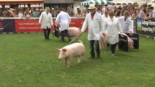 Pencampwriaeth Moch Cymreig Baedd | Welsh Pig Hog Championship