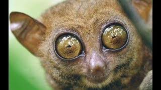 Tarsiers - Cute Little Primates from South Asia