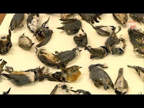 Вопрос: Почему на Кубани массово гибнут птицы?