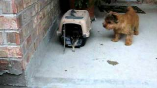 Norwich Terrier Vs Chihuahua