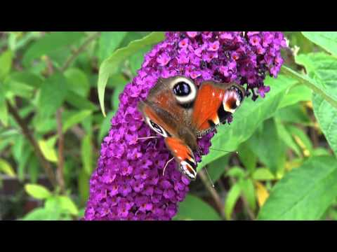 Tagpfauenauge Schmetterlingsstrauch Buddleja Davidii 2011