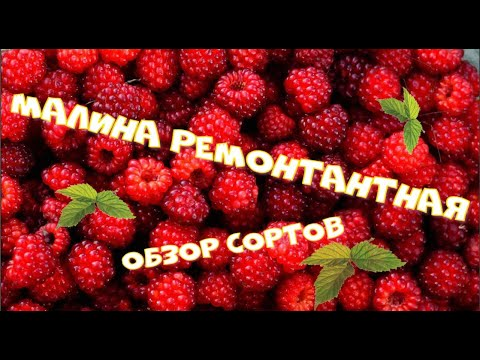 Малина ремонтантная в Сибири.  Обзор сортов. Осень 2020