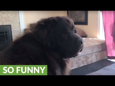 Funny Newfoundland plays hide-and-seek with little girl