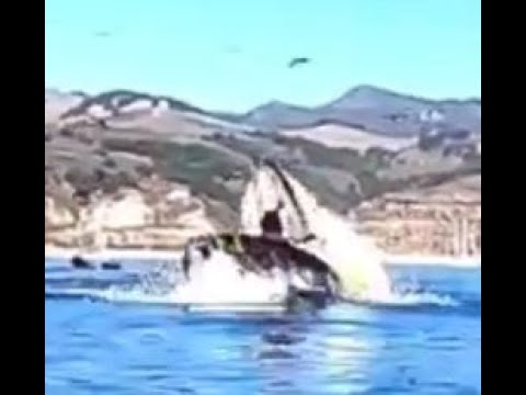 Kayakers swallowed by a humpback whale in Avila beach - California
