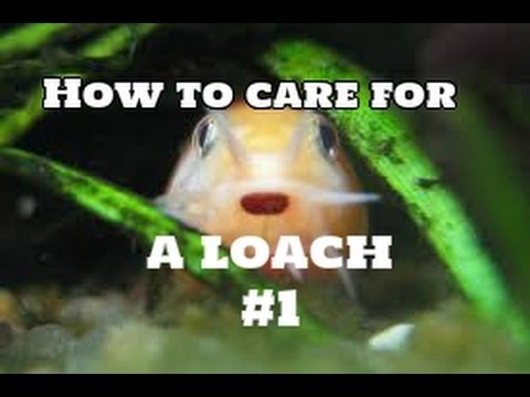 How To Care For A Dojo Loach