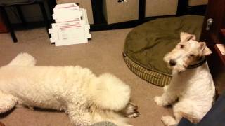 Cute video of our dogs playing.