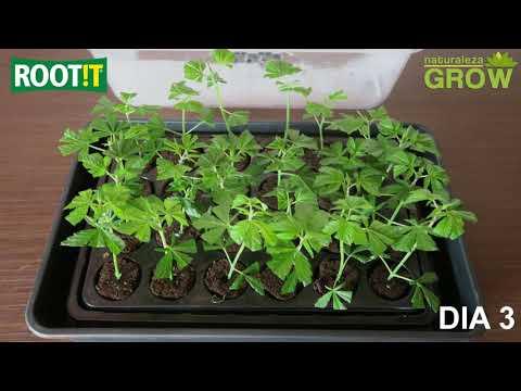 ¿Como hacer esquejes? paso a paso - clones plantas madres