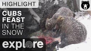 Bear Cubs Feast In The Snow - Brown Bears Live Cam Highlight 10/22/17