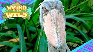 Meet the World's Most TERRIFYING Bird! | WEIRD IN THE WILD