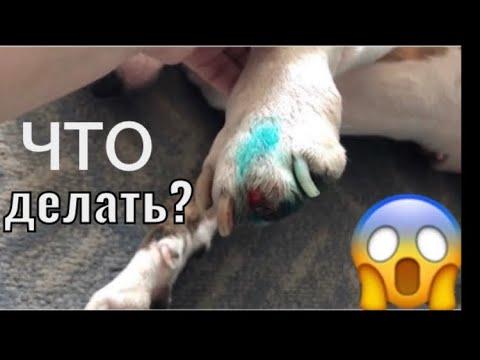Вопрос: Как остановить кровотечение из живой части когтя собаки?