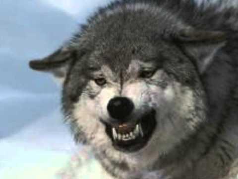 "Hank Williams jr ""Lone Wolf"""