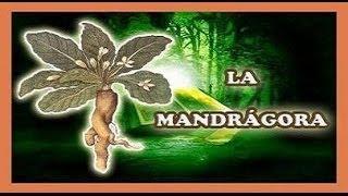 Herbario y Pociones - La Mandrágora