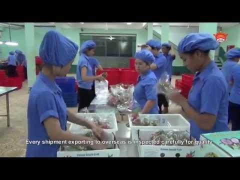 Hoang Hau Dragon Fruit Farm - Vietnam
