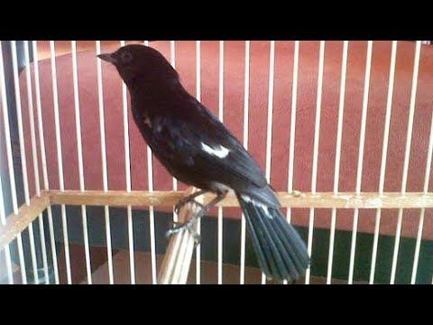 Burung Decu Gacor Ngerol Poll Ngobra Buka Sayap
