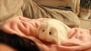 Meet Teddy :) My first Guinea Pig