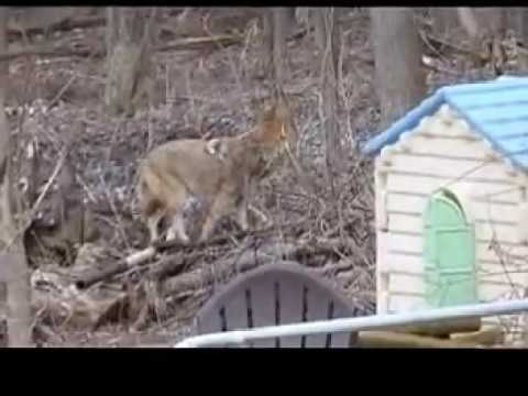Coyote in Bethel Park, PA 15102