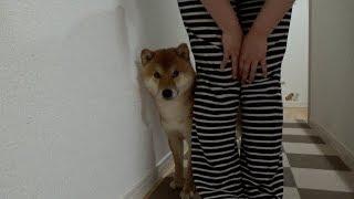 恐すぎるオモチャに思わずママの後ろに隠れてしまう柴犬さん thumbnail