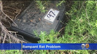La Now The 'city Of Rats'? Report Warns Of 'alarming Increase' In Rodent Population