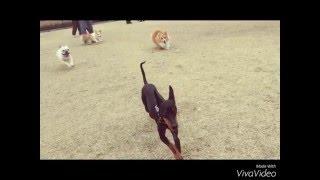 トイマンチェスターテリアの蘭丸です。 走るのが大好き!