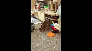 Вязка абиссинских котов. Эпизод номер 2
