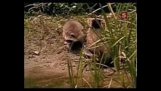 енот-полоскун и бобёр (бандит и строитель)